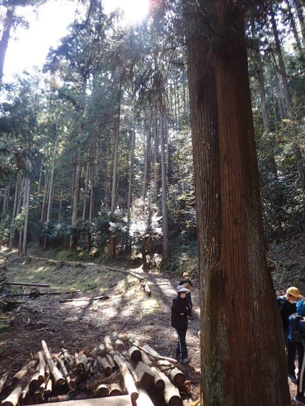 大杉ポイントで108年生の人工林を見学