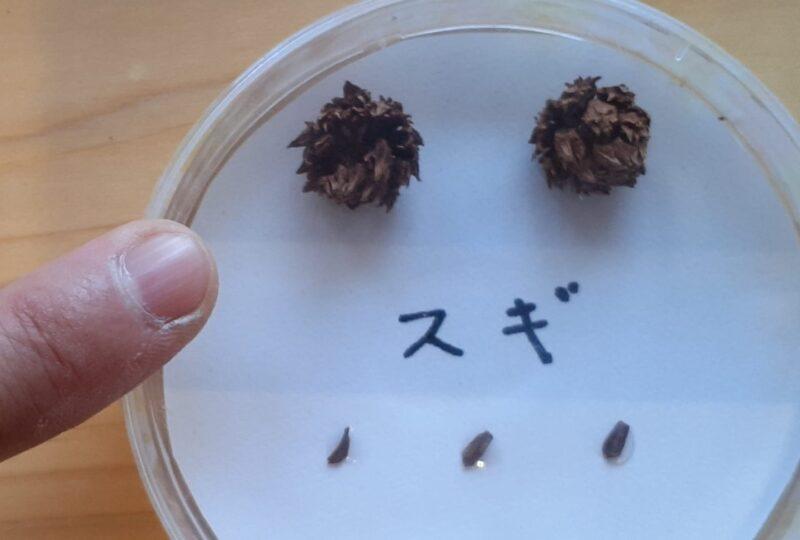 スギの球果と種子